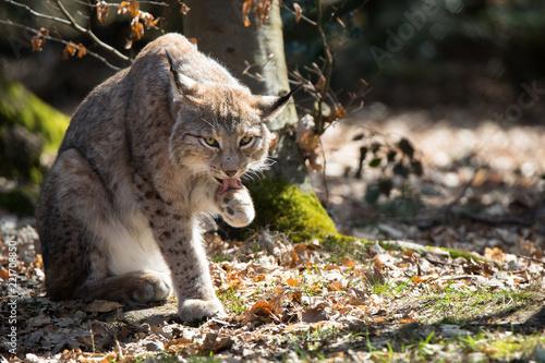 Keuken foto achterwand Lynx Lynx