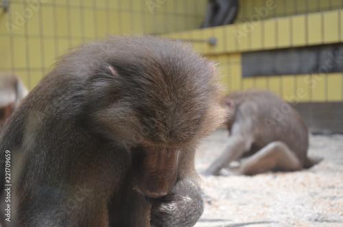 Photo  Wild Hamadryas baboon