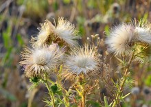 Thistle Gives The Seeds In Autumn, A Beautiful White Delicate Thistle
