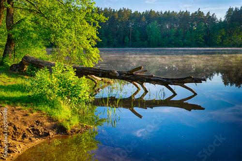 Foto op Aluminium Nachtblauw Pine tree cut by the beaver lies in the water. Spring landscape. Masuria, Poland.
