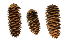 Set Of Spruce Cones