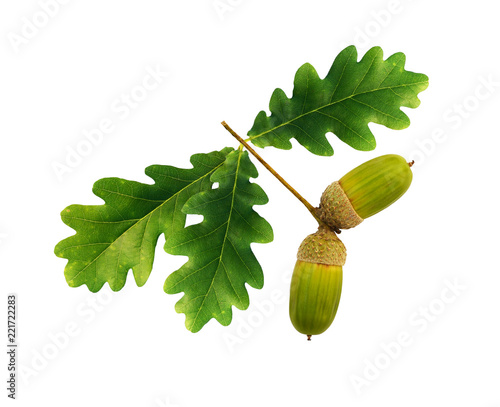 Green oak acorns and leaves