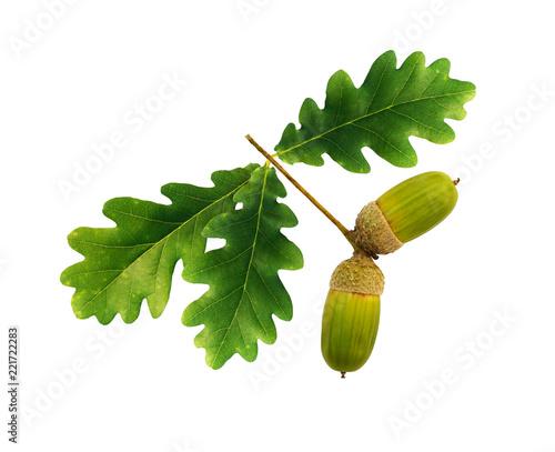 Green oak acorns and leaves