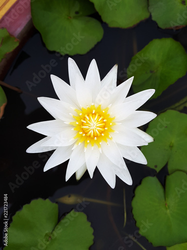 Lotus Flowerwater Lilyblossoming Lily Flower With Green Leaves On