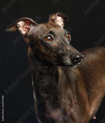 Fotografie, Tablou Italian greyhound Dog  Isolated  on Black Background in studio