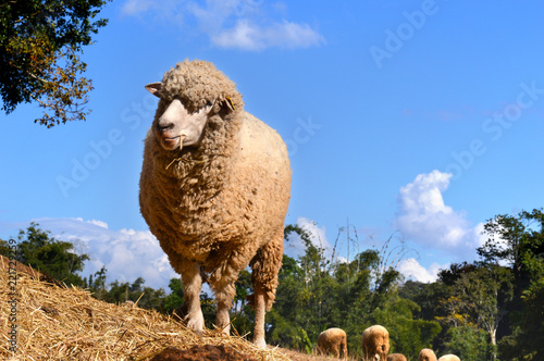 sheep in zoo farm for traveler