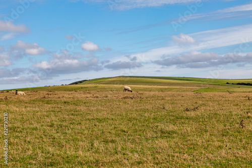 Foto op Canvas Blauw Sheep grazing on a South Downs hillside, in Sussex
