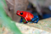 Strawberry Poison-Dart Frog (O...