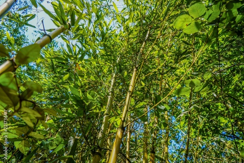 Foto op Plexiglas Bamboe Bamboo leaves and trees at summer
