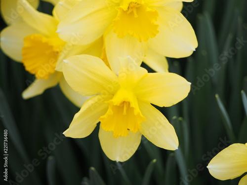 Foto op Aluminium Narcis 水栓の美しい黄色い花