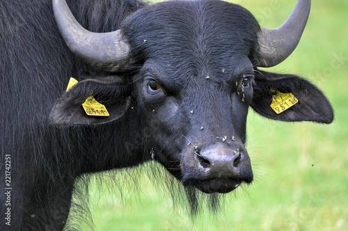 Valokuva  Potrait of aurochs on pasture in Poland