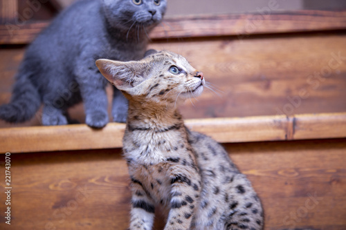 Spoed Foto op Canvas F1 F1 Savannah kitten on the stairs