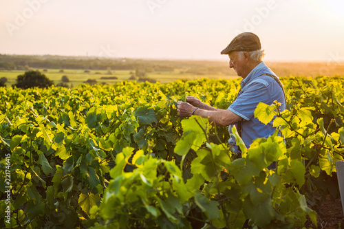 Fotografia  A senior winegrower works in his vines at sunset