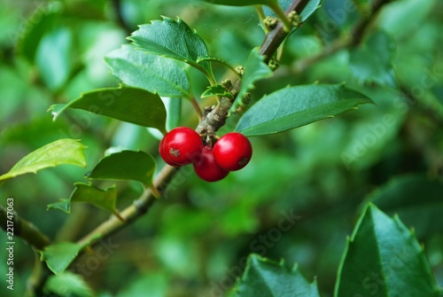 bright red berries on a holly bush
