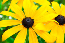 Close Up On One Rudbeckia Hirta, Commonly Called Black-eyed-Susan Flower In A Field.