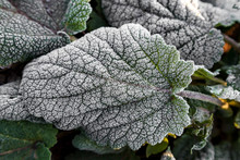 Frost On The Leaves Of Sage Plant