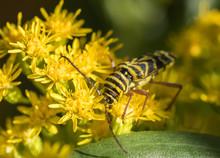 Locust Borer Beetle (Megacyllene Robiniae) Feeding On Yellow Goldenrod Wildflowers (Solidago)