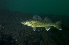 Walleye Fish In The St-Lawrenc...