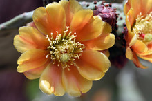 Closeup Of Flower Of Prickly Pear Cactus