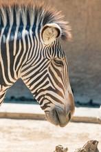 Grevy's Zebra Close-up