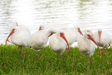 A Group Of White Ibis Standing In A Grassy Field
