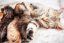 Grey Mother Cat Nursing Her Babies Kittens, Close Up