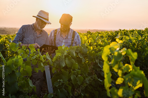 Fototapeta Winegrowers using a tablet, in their vines at sunset. obraz