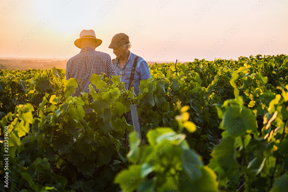 Fototapety, obrazy: Two French winegrowers in their vines at sunset