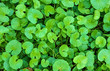 canvas print picture - Top view of Gotu Kola (Centella  asiatica) growing in the botanical garden, Spring in DC USA.
