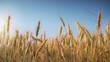 Golden wheat ready to be harvested with blue sky background , flat footage for color grading
