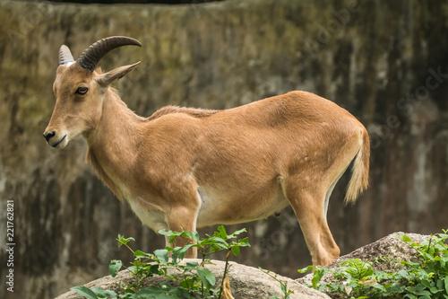 Fotografie, Tablou The mountain goats