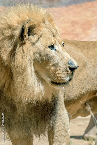 Staande foto Leeuw African Lion - Panthera leo - Male