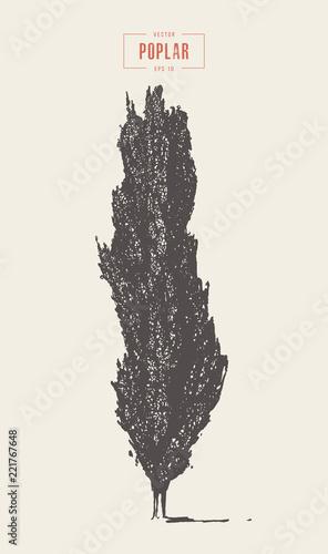 Fotografie, Obraz High detail vintage poplar tree, hand drawn vector
