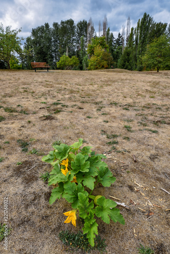 Fotografie, Obraz  Volunteer squash plant growing in a park, middle of dead lawn with weeds, trees