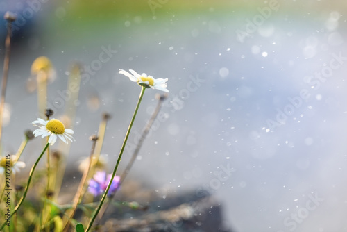 Foto op Canvas Bloemen Chamomile on a luminous blurred background