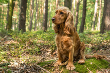 English Cocker Spaniel Dog In The Forest