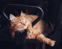 Beautiful Cute Red Fluffy Cat Lies In Office Chair, Pets And Furniture At Home