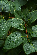 Closeup Shot Of Water Drops On Green Leaves Of Shrub In Garden