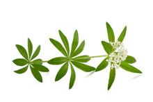 Woodruff (Galium Odoratum)