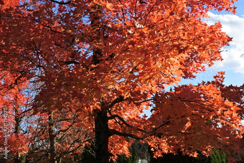 Spoed Foto op Canvas Bordeaux オレンジ色の紅葉、黄葉