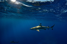 Snorkeling With Sharks In Blue...