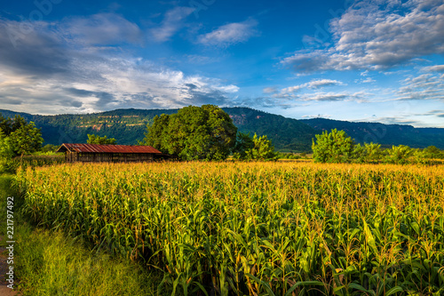 Countryside Corn Field in Thailand