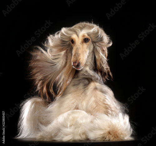 Afghan hound Dog  Isolated  on Black Background in studio Canvas Print