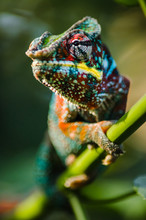 Wild Chameleon In The Jungle