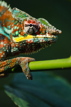 Wild Chameleon In The Jungle