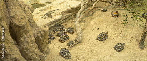 The inhabitants of the desert. Lizard and small turtles..Sized to fit a social media timeline cover placeholder.