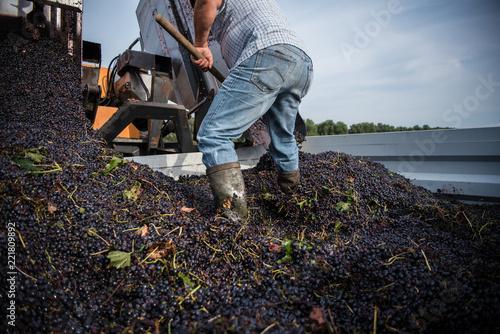 Egypt grape harvester