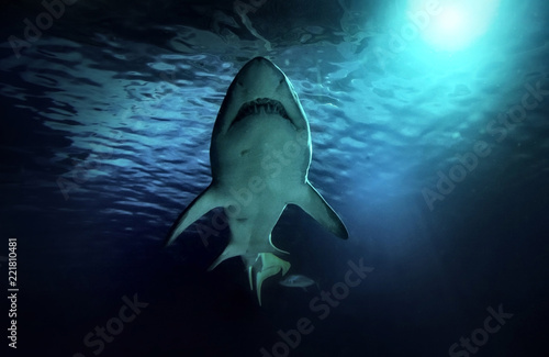 White shark hunting under water. Predator under light in ocean.