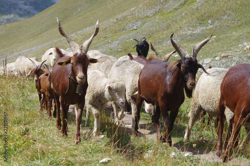 Chèvres et moutons en libertés dans les Alpes en France