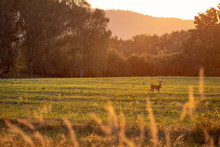 Summer Landscape By Sunset With Deer.